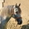 Licol Cuir Sellerie équestre Jollet Atelier cheval 2
